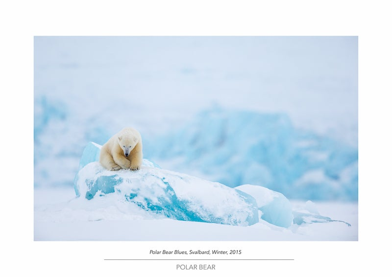 Image of Polar Bear Portfolio