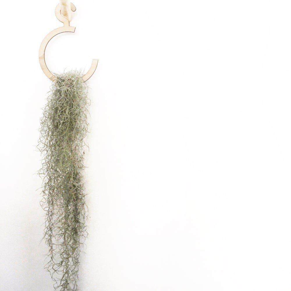 Image of AIR PLANT & HOOK HANGER