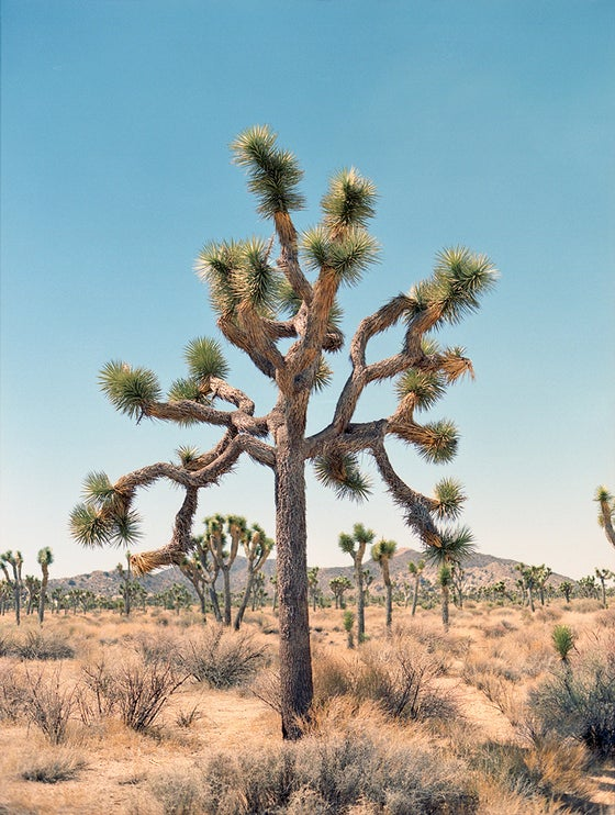 Image of Joshua Tree print #2