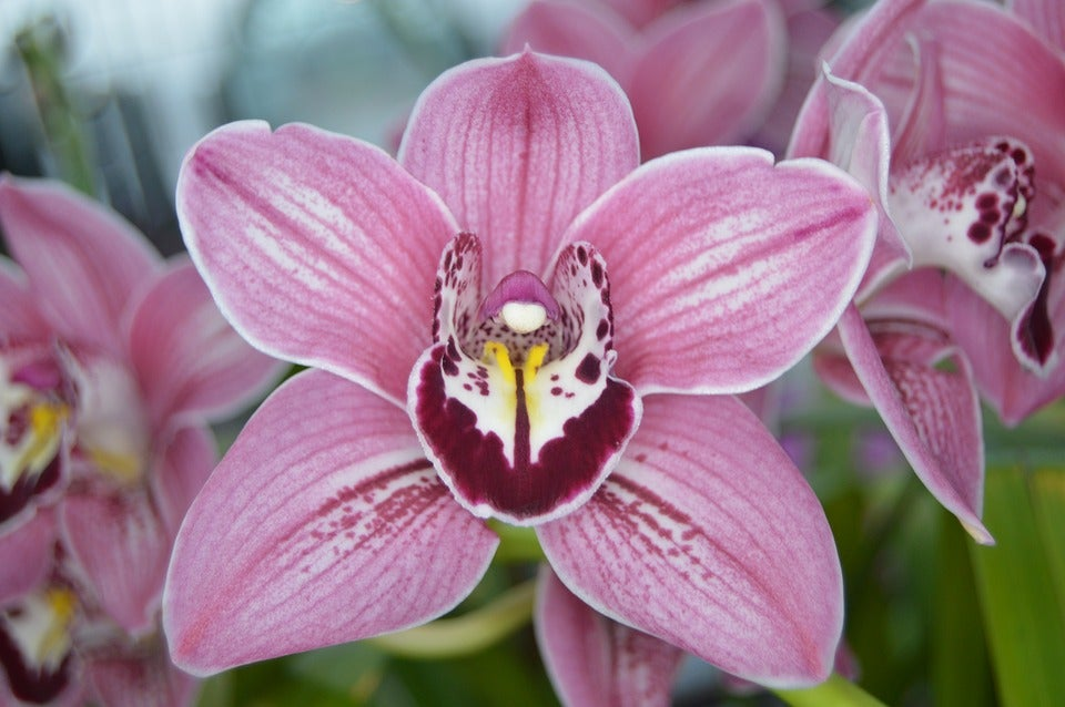 Image of Purple Orchid