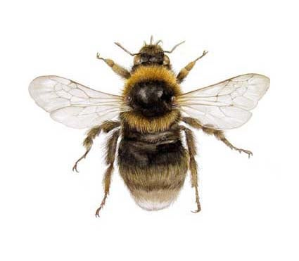 Image of 'Southern Bumble Bee' by Hazel Adams