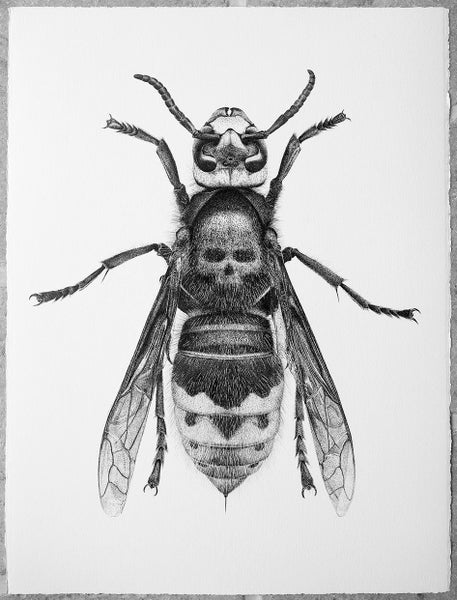 Image of Death's Head Hornet - From £28 to