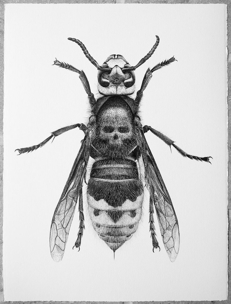 Image of Death's Head Hornet - From £30 to
