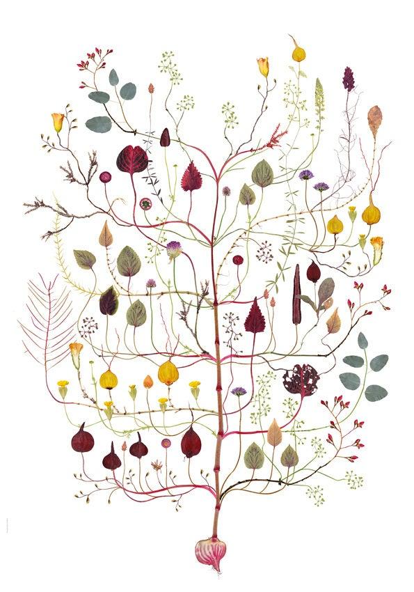 Image of Amarant-träd / Amarant Tree