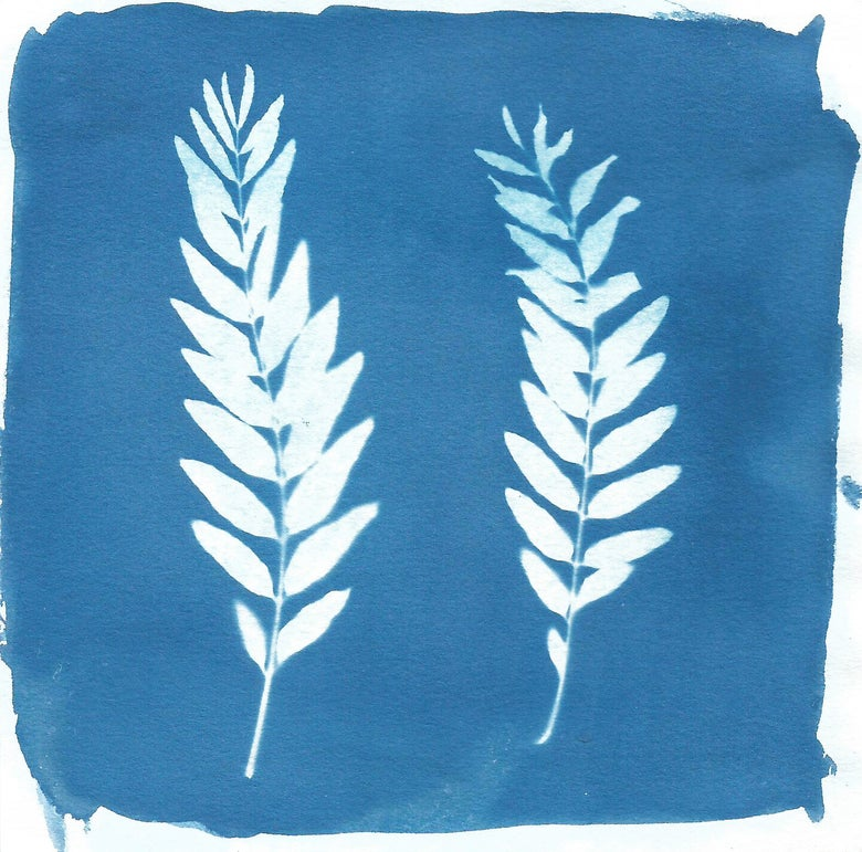 Image of Honey Locust Cyanotype