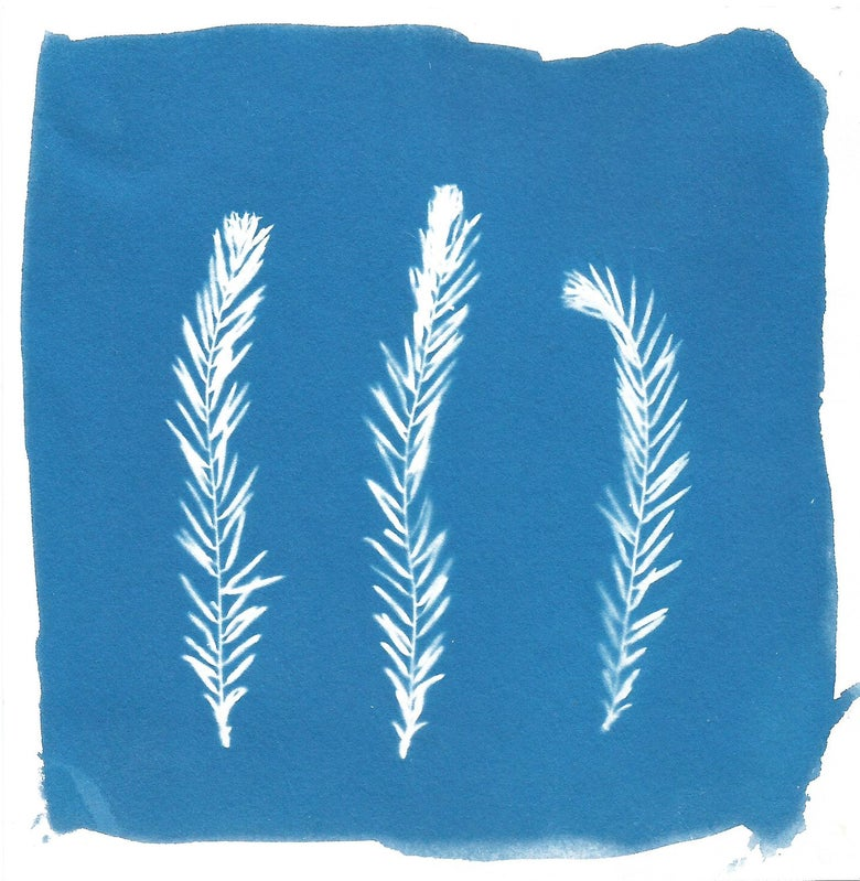 Image of Swamp Cypress Cyanotype