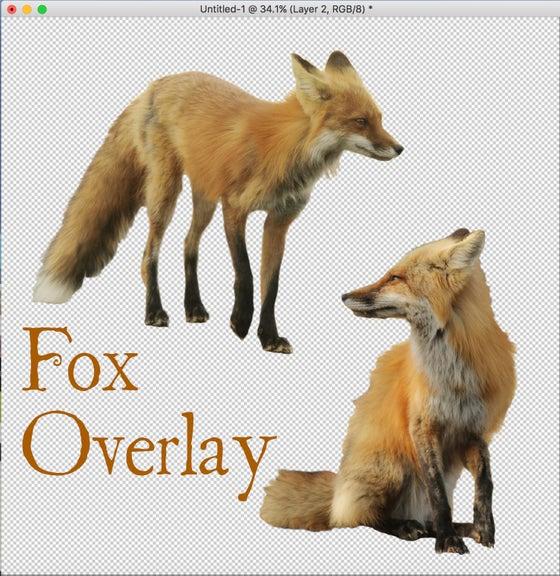 Image of Two Fox Overlay