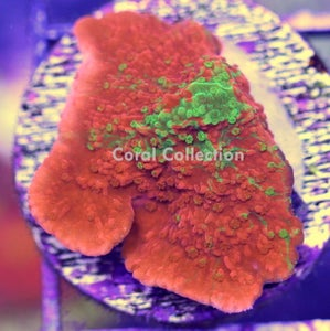 Image of WWC Grafted Cap