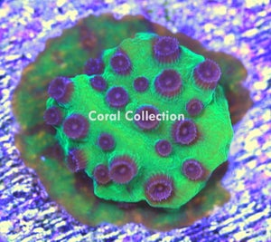 Image of CC Joker Cyphastrea