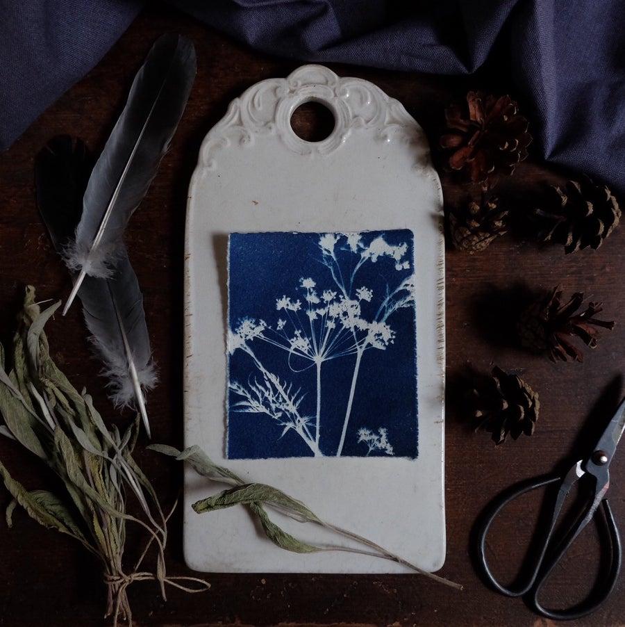 Image of Cyanotype print, Cow parsley