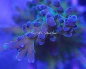 Image of Blueberry Fields Acro