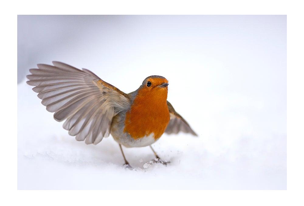 Image of European robin