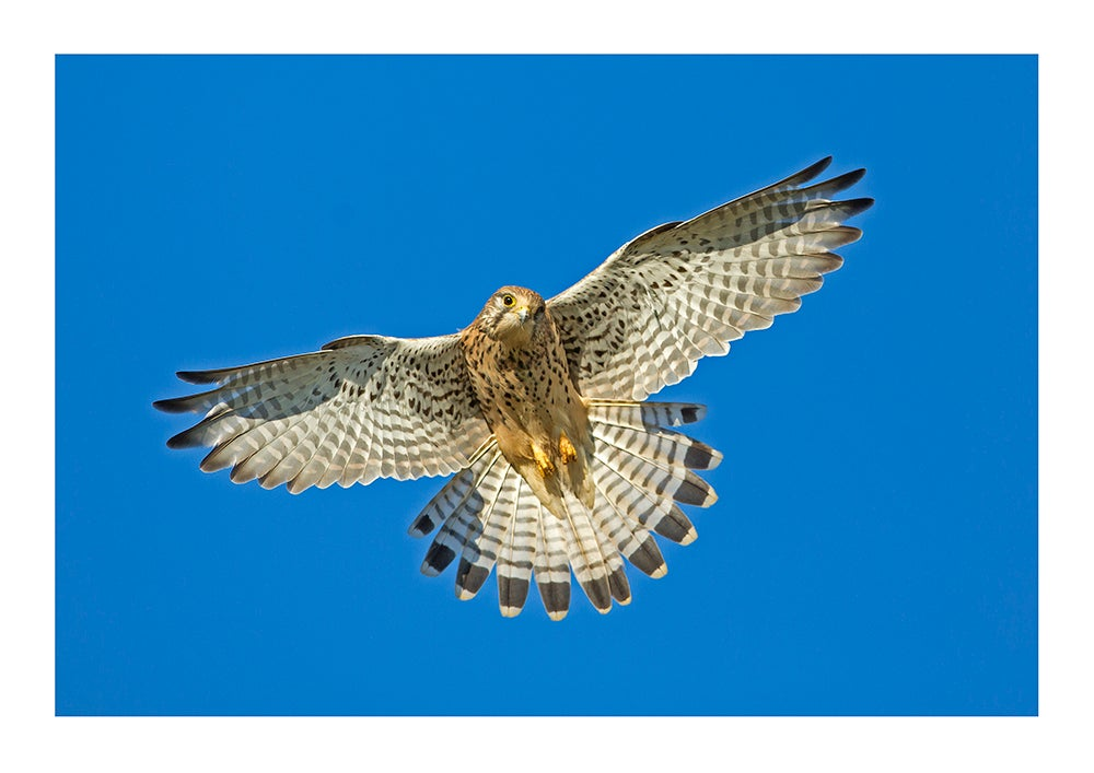 Image of Kestrel Hunting