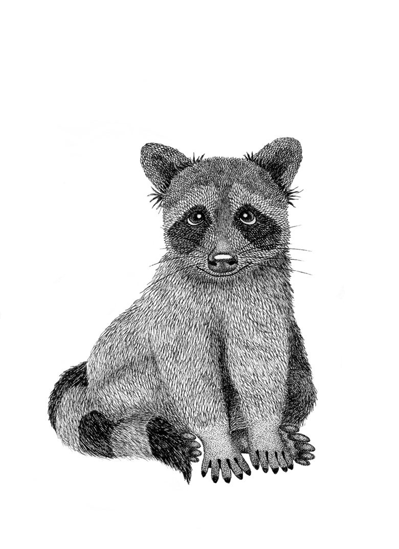 Image of Raccoon