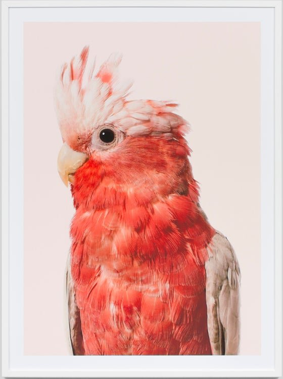 Image of Pink Galah framed photographic print