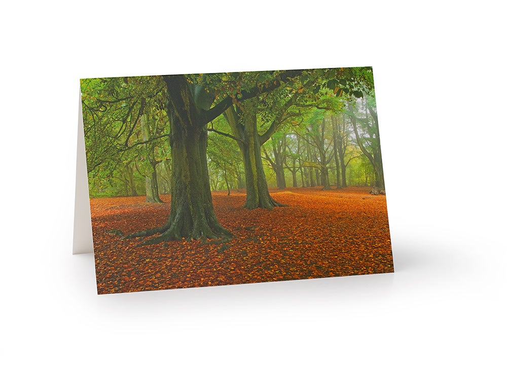 Image of Beech tree stand