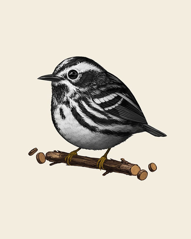 Image of Black-and-white Warbler