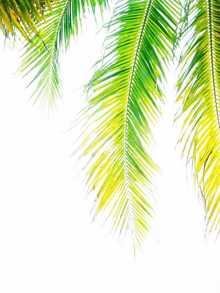 Image of Miami Palm #1