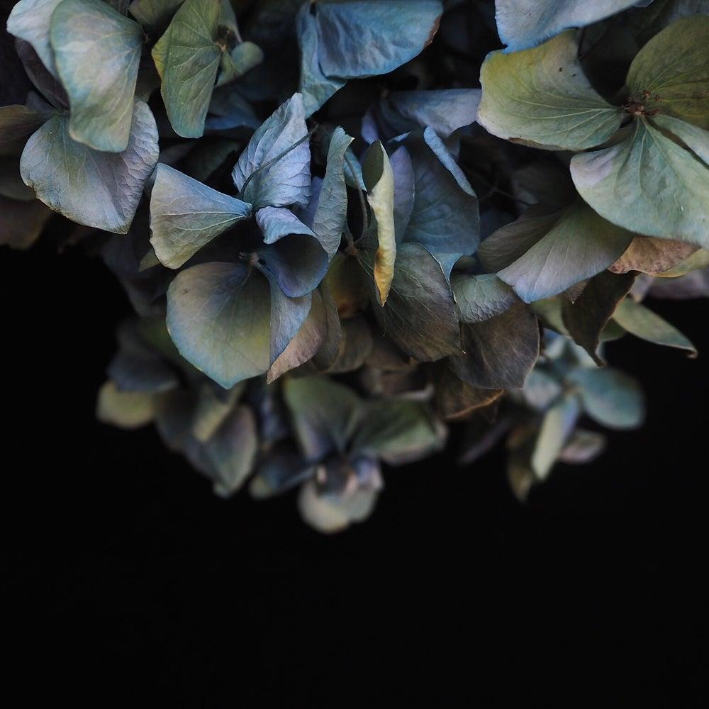 Image of open edition blue hydrangea