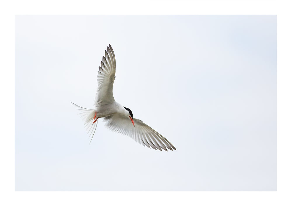 Image of Common Tern