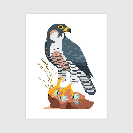 Image of  Peregrine Falcon Print