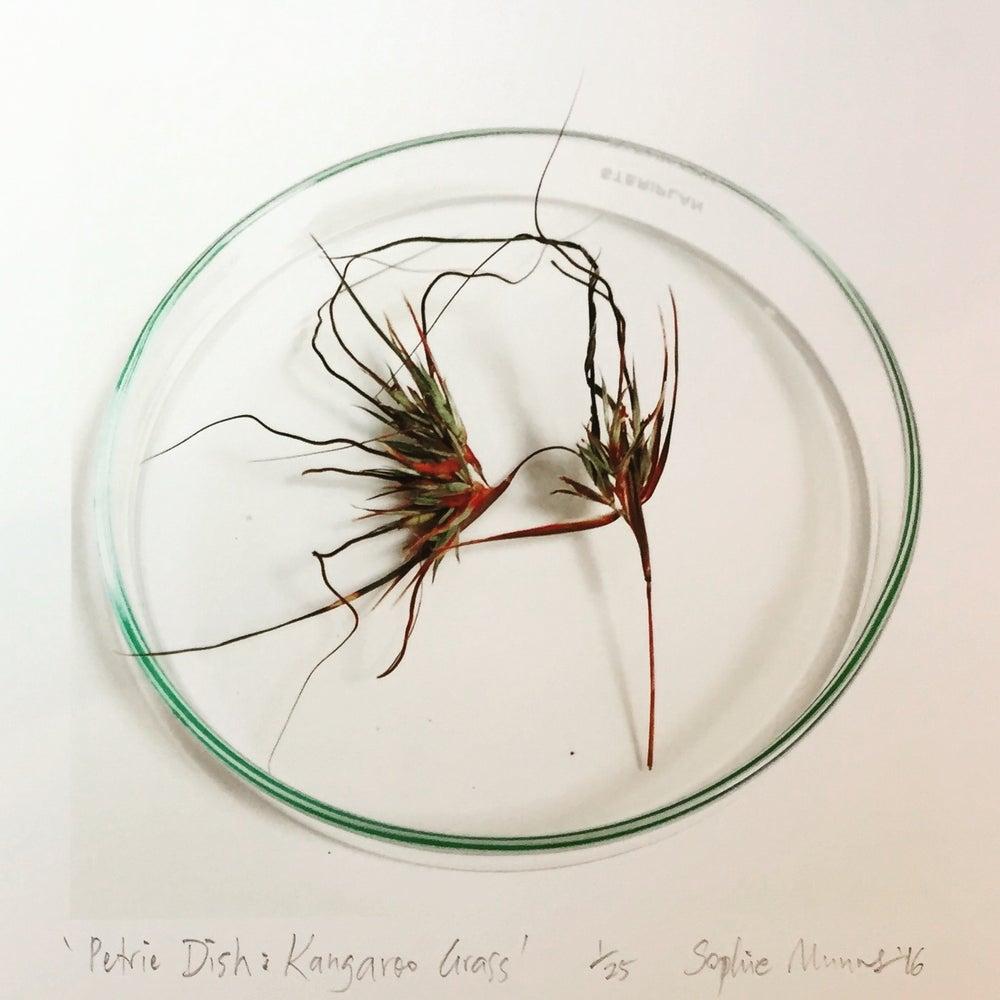 Image of PETRIE DISH: KANGAROO GRASS