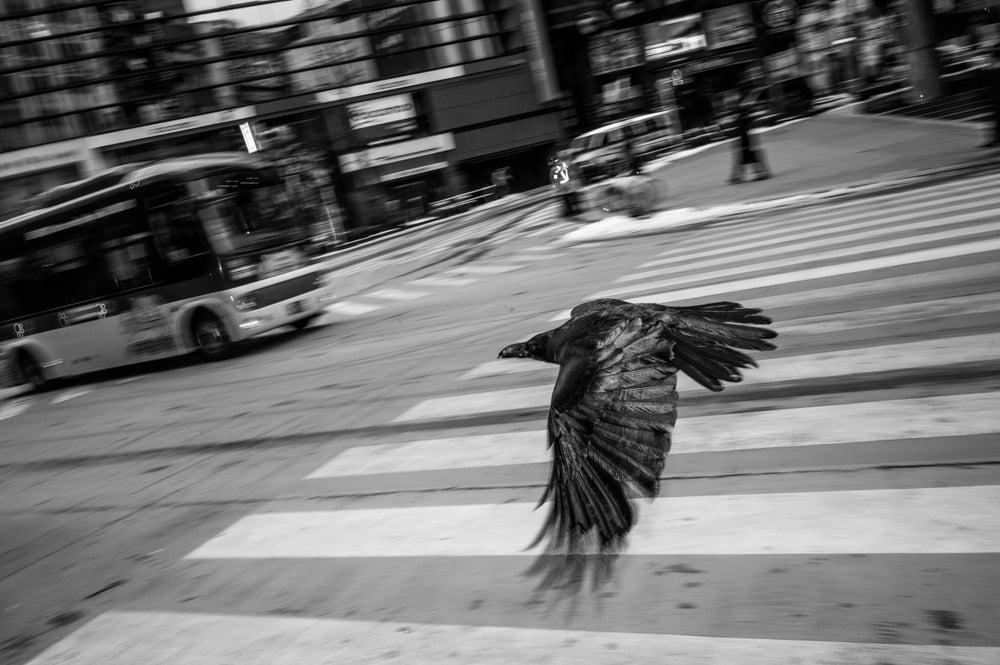 "Image of Raven, Tokyo, 2013 - 12"" x 18"""