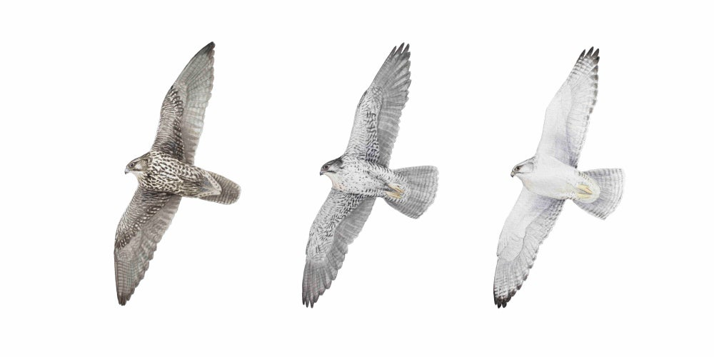 """Image of 10x20"""" Gyrfalcons in Flight"""