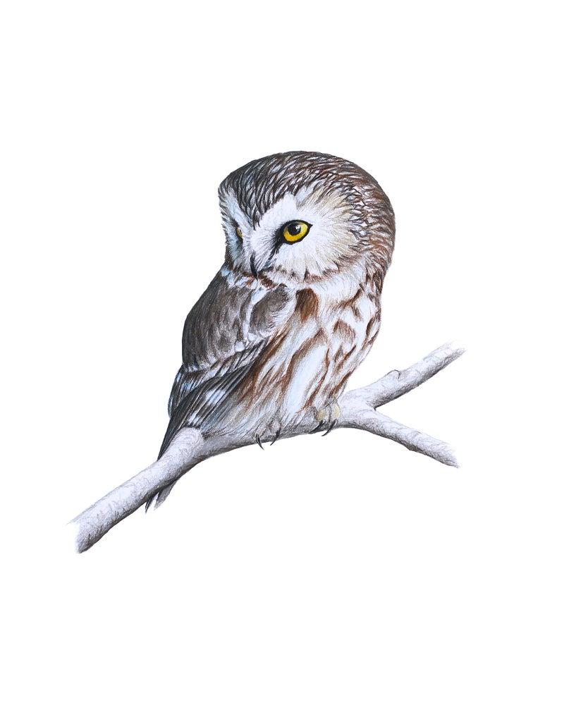 "Image of 8x10"" Limited Giclee Print: Northern Saw-whet Owl (Aegolius acadicus)"