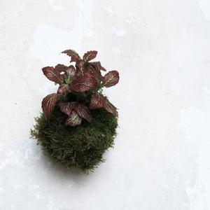Image of Kokedama | Fittonia roja rayitas pequeña
