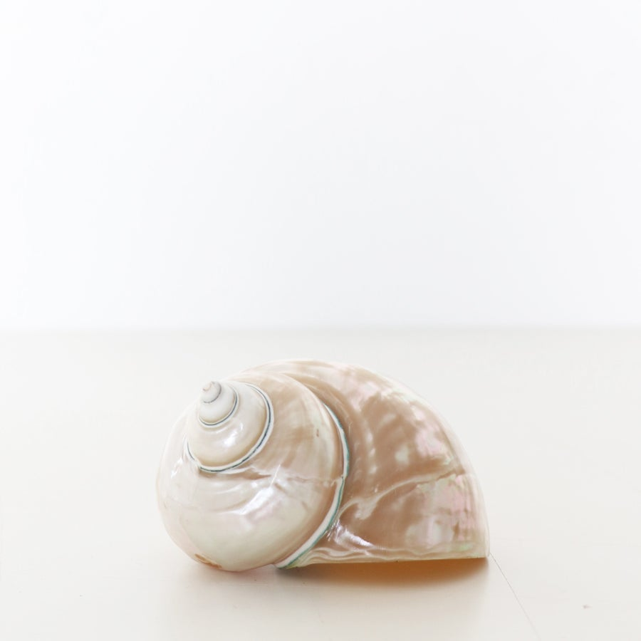 Image of Pearl Turbo Shell