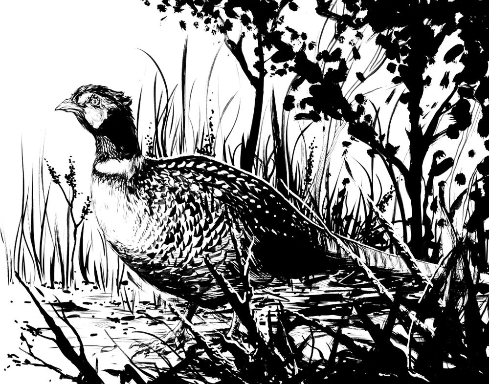 Image of pheasant inked original piece