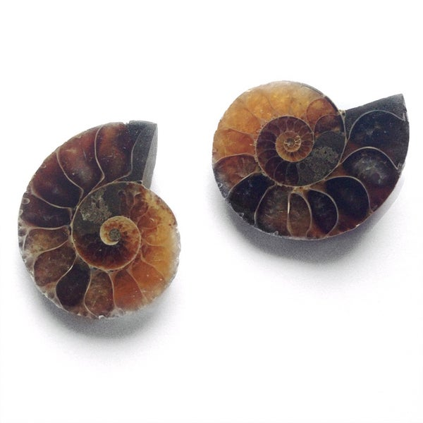 Image of Small Ammonite Fossil