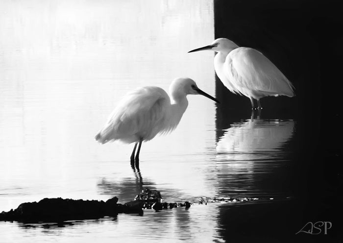 """Image of """"Two Egrets in Black and White No. 1"""" Museum Print"""