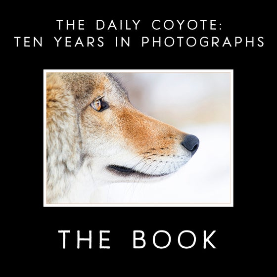 Image of The Daily Coyote: Ten Years In Photographs {PRE-ORDER}