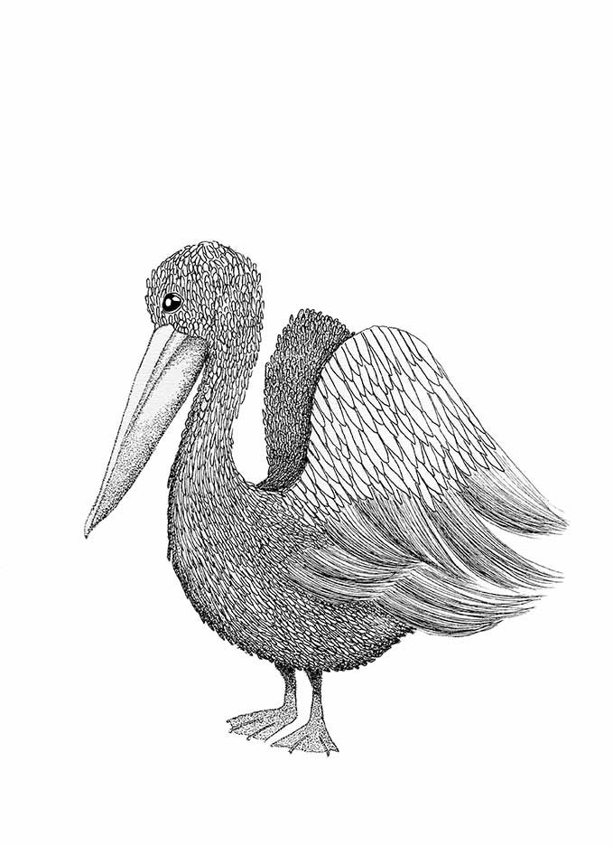 Image of Mr Pelican