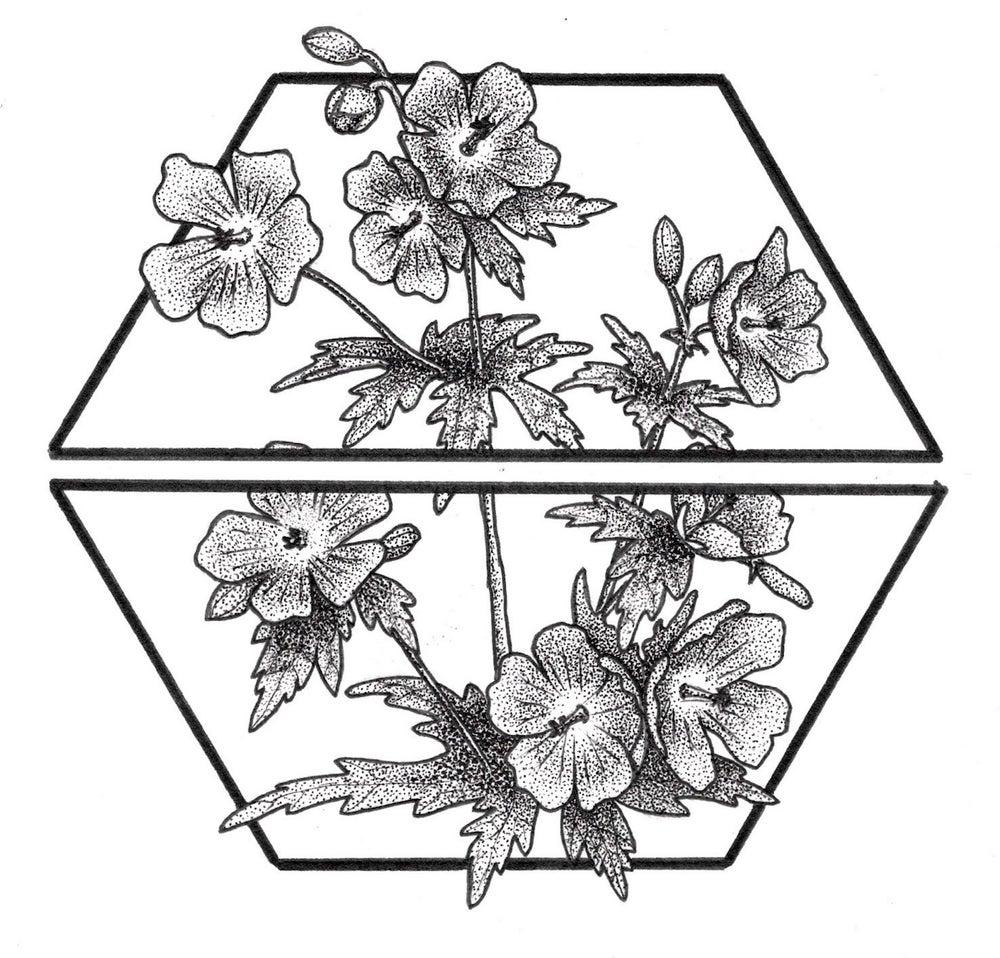 Image of wild geranium