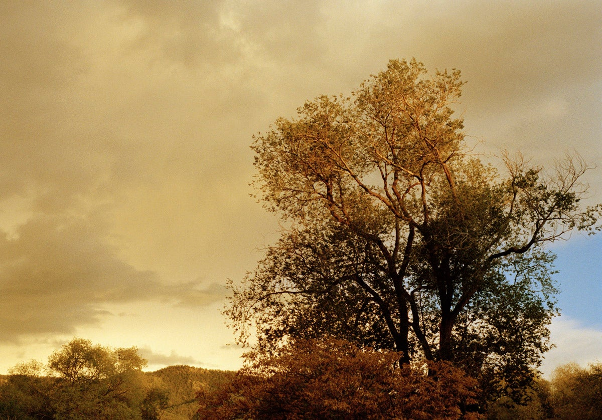 Image of Taos, Oak Tree