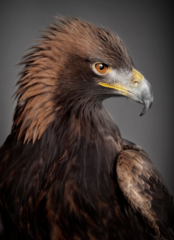 Image of Aquila chrysaetos (Golden Eagle)