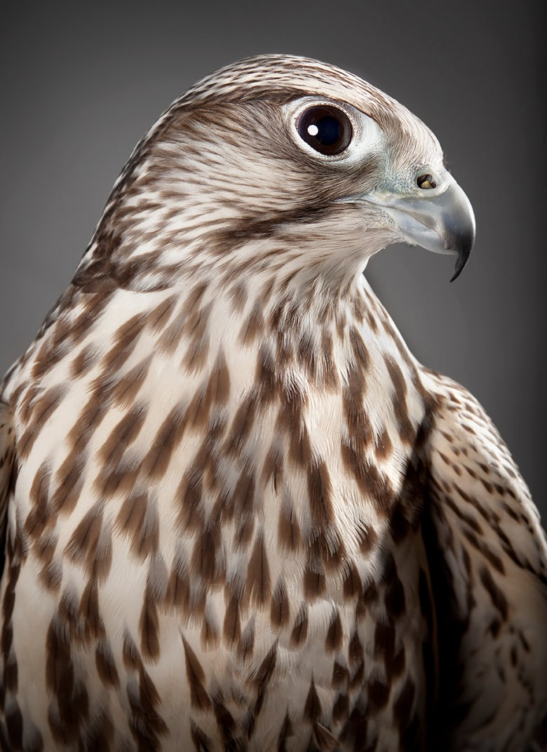 Image of Falco cherrug (Saker Falcon)