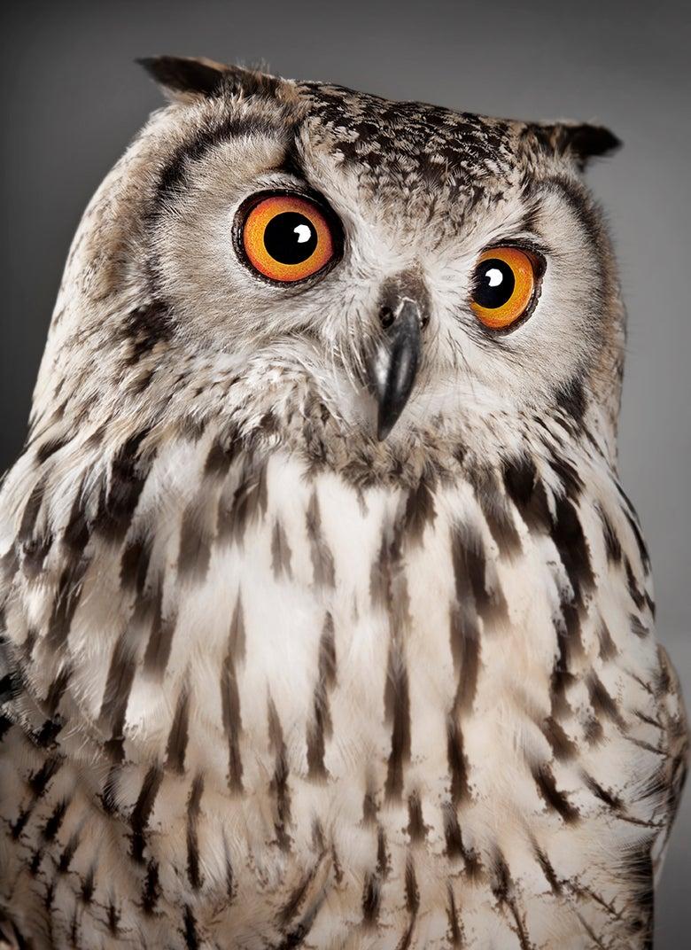 Image of Bubo bubo (Eurasian eagle-owl )