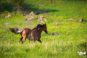 Image of Wild Horse Wandering