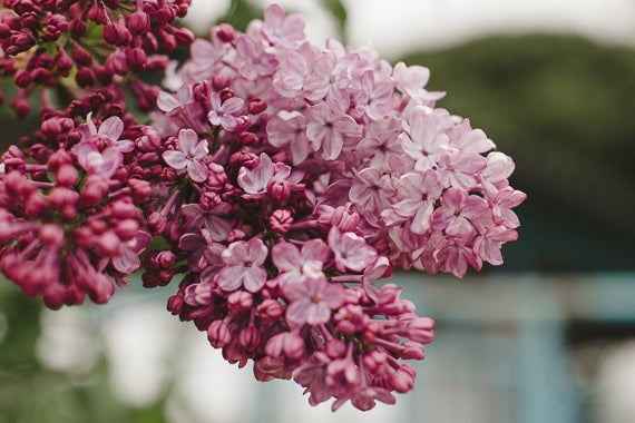 Image of Soft Pink Lilacs