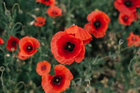 Image of Poppy Story