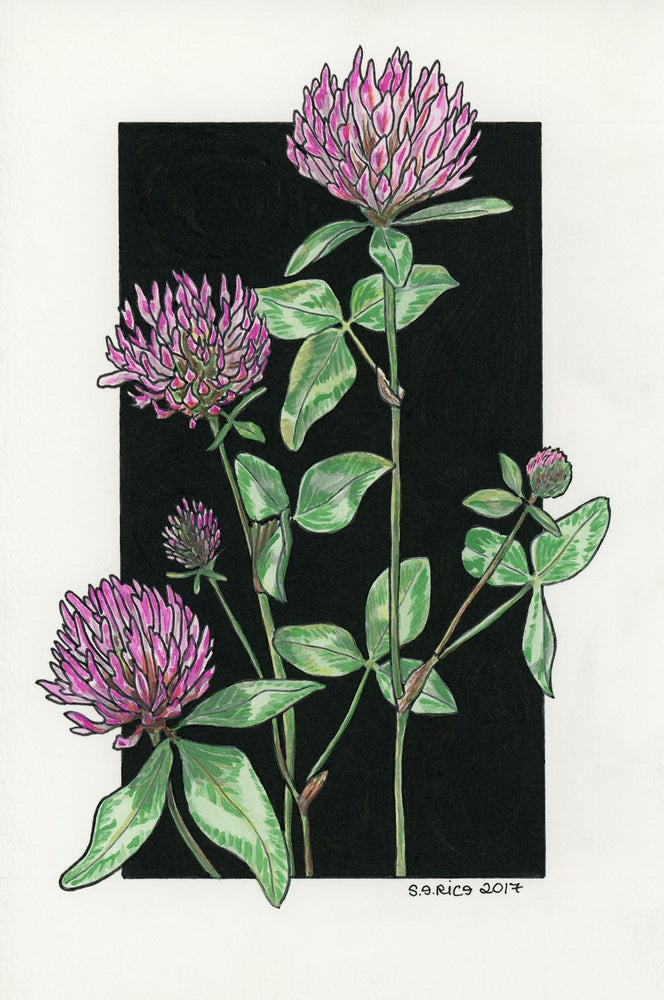 Image of Red Clover - Trifolium pratense