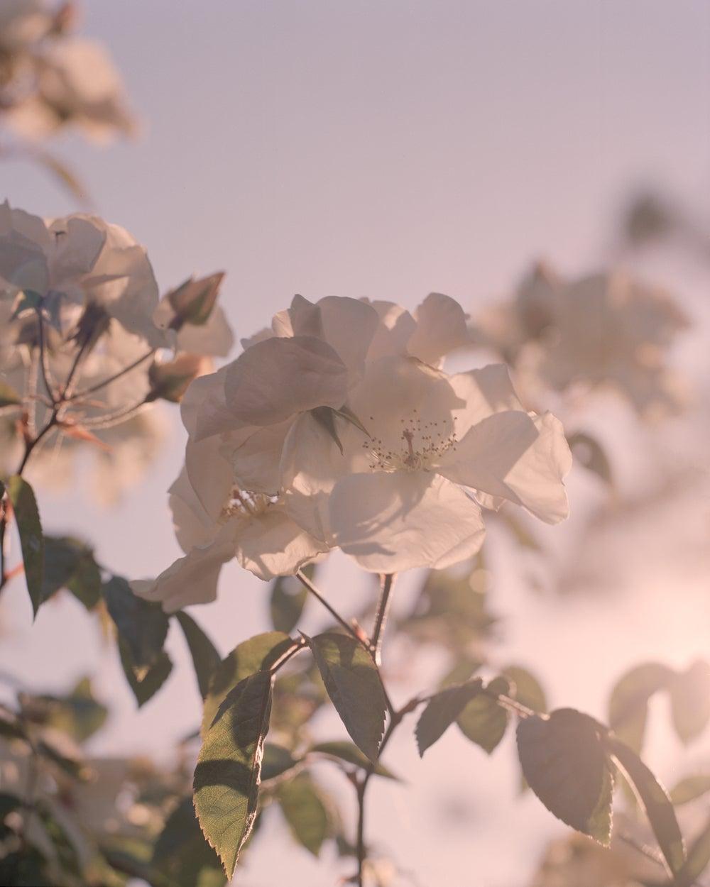 Image of White Roses
