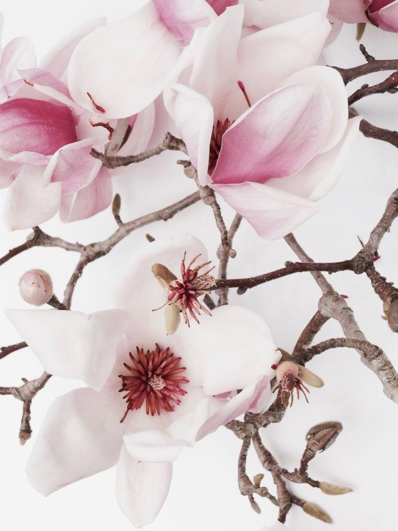 Image of magnolia Luisa