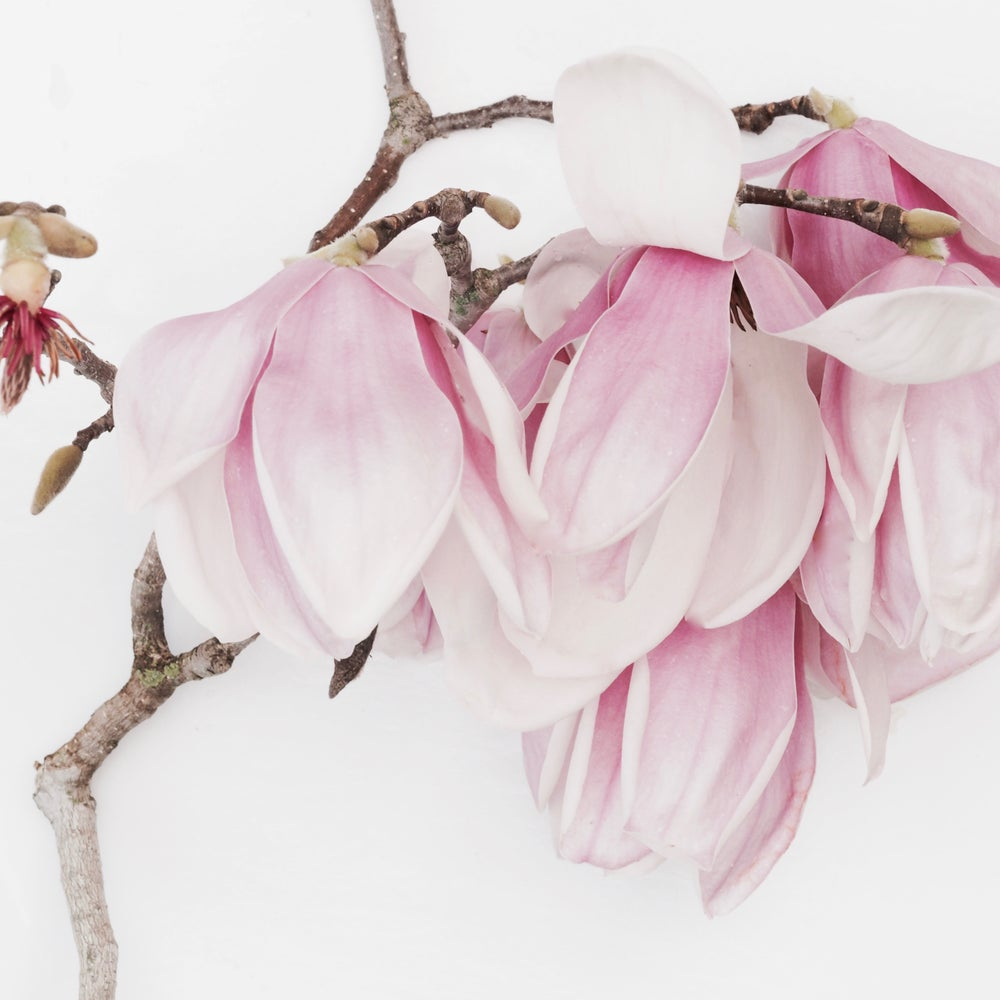 Image of magnolia Sophia open edition print