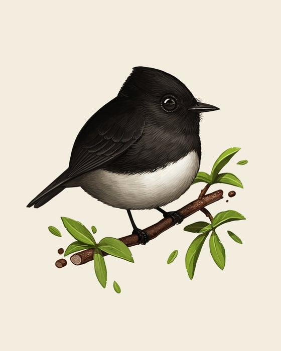 Image of Black Phoebe