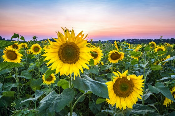 Image of Sunflowers at Sunset